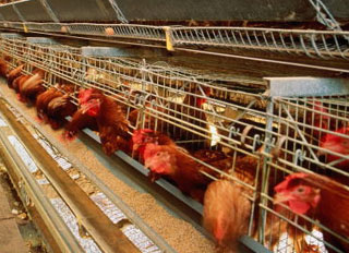 Government approves plans for the development of JSC Poultry Reftinskaya