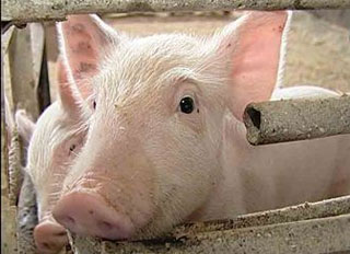 Pig farm complex approved in Tyumen