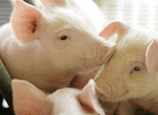 Construction of Changling County integrated pig farm underway