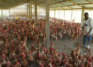 Gov't to support local poultry industry, build feed mill