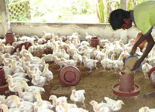 Toxic poultry feed threatens poor