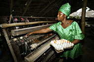 Nigerian Poultry farmers seek better funding