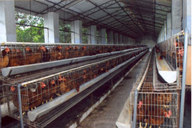 Hi-tech poultry layer breeding farm inaugurated