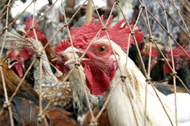 Poultry and livestock deserve greater attention