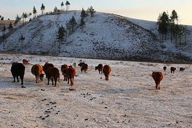 Harsh winter brings feed shortages in Mongolia