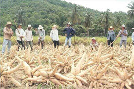 Cassava, banana production gets boost in Leyte