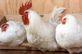 Poultry shortage in Zimbabwe following import ban